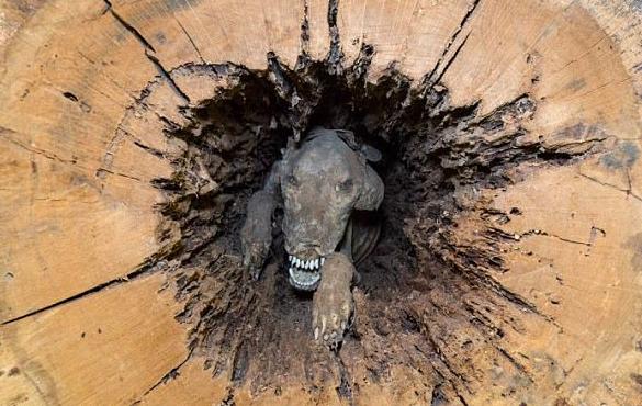 Pemotong Kayu Menemui Mumia Anjing Dalam Pokok, Tak disangka-sangka ia…